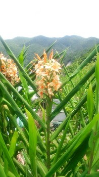 ウコンの花の写真.jpeg
